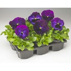 Виола витроока Колоссус F1 неон-фиолетовая /100 семян/ *Syngenta*