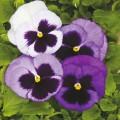 Виола витроока Колоссус F1 океан /100 семян/ *Syngenta*