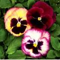 Виола витроока Колоссус F1 розовый сюрприз /100 семян/ *Syngenta*