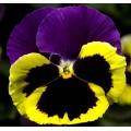 Виола витроока Колоссус F1 триколор /100 семян/ *Syngenta*