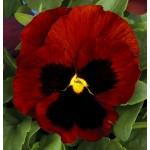 Виола витроока Колоссус F1 красная с глазком /100 семян/ *Syngenta*