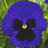 Виола витроока Маммут F1 темно-синяя /100 семян/ *Syngenta*