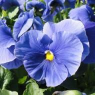 Виола витроока Матрикс F1 голубая /100 семян/ *Pan American*