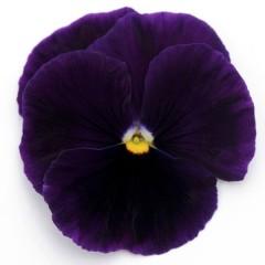 Виола Матрикс F1 пурпурная /100 семян/ *Pan American*