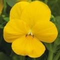 Виола витроока Пенни F1 желтая /100 семян/ *Syngenta*