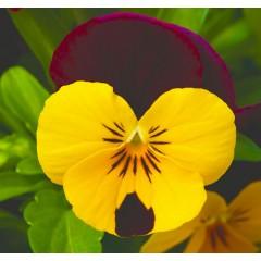 Виола витроока Пенни F1 желтая с красным крылом /100 семян/ *Syngenta*