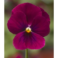 Виола витроока Пенни F1 розовая с глазком /100 семян/ *Syngenta*