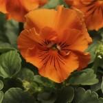 Виола витроока Фризли Сизли F1 оранжевая /100 семян/ *Pan American*
