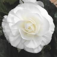 Бегония Гоу-Гоу F1 белая /100 семян/ *Syngenta*
