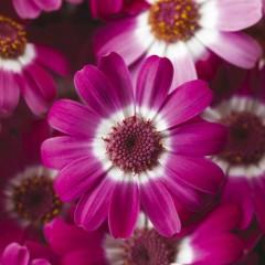 Перикаллис Венеция F1 розовый с ободком /100 семян/ *Syngenta*