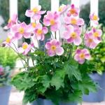 Анемона Пинк Саусер /100 семян/ *Syngenta Seeds*