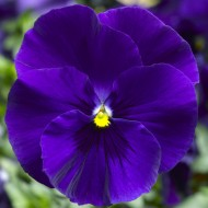 Виола витроока Дельта F1 синяя /100 семян/ *Syngenta Seeds*