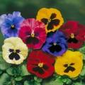 Виола Дельта F1 смесь с глазком /100 семян/ *Syngenta Seeds*