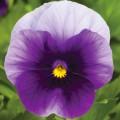 Виола Пенни F1 беаконсфилд /100 семян/ *Syngenta*