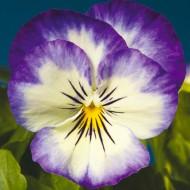 Виола витроока Пенни F1 пурпурное пикотэ /100 семян/ *Syngenta*