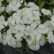 Гвоздика межвидовая Чиба F1 белая /100 семян/ *Hem Zaden*