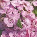 Гвоздика Диабунда F1 пинк /100 семян/ *Syngenta Seeds*