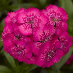 Гвоздика Диабунда F1 розовая /100 семян/ *Syngenta Seeds*