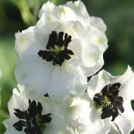 Дельфиниум Магический фонтан белый с темный глазком /200 семян/ *Benary*