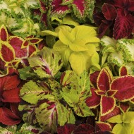 Колеус Визард смесь /100 семян/ *Pan American*