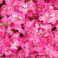 Пеларгония зональная Мультиблум F1 пинк /100 семян/ *Syngenta Seeds*