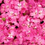 Пеларгония Мультиблум F1 пинк /100 семян/ *Syngenta Seeds*