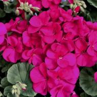 Пеларгония зональная Мультиблум F1 фиолетовая /100 семян/ *Syngenta Seeds*