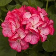 Пеларгония зональная Пинто F1 бело-розовая /100 семян/ *Syngenta Seeds*