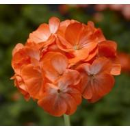 Пеларгония зональная Пинто F1 оранжевая /100 семян/ *Syngenta Seeds*