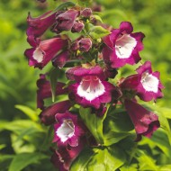 Пенстемон хартвига Арабеске F1 фиолетовый /100 семян/ *Syngenta Seeds*