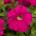 Петуния Пикобелла F1 карминовая /200 семян/ *Syngenta Seeds*