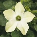 Табак Саратога F1 лайм /200 семян/ *Syngenta Seeds*