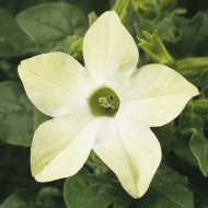 Табак крылатый Саратога F1 лайм /200 семян/ *Syngenta Seeds*
