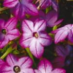 Табак Саратога F1 пурпурный биколор /200 семян/ *Syngenta Seeds*