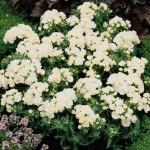 Флокс Промис белый /100 семян/ *Pan American*