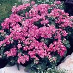 Флокс Промис лиловый /100 семян/ *Pan American*