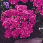 Флокс Промис розовый /100 семян/ *Pan American*