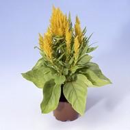 Целозия Айс Крем желтая /200 семян/ *Pan American*