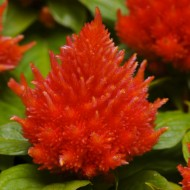 Целозия Айс Крем оранжевая /200 семян/ *Pan American*