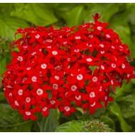Целозия Нью Лук красная /200 семян/ *Pan American*