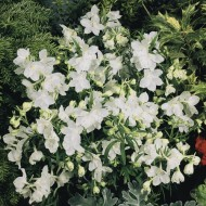 Дельфиниум Саммер белый /100 семян/ *Benary*
