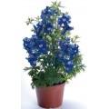Дельфиниум Саммер синий с белым глазком /100 семян/ *Benary*