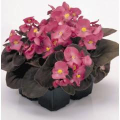 Бегония Найтлайф F1 темно-розовая /1.000 семян/ *Benary*