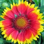 Гайлардия Аризона красно-желтая /100 семян/ *Benary*
