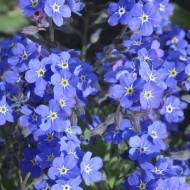 Незабудка Сильва синяя /1.000 семян/ *Benary*