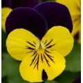 Виола Сорбет F1 желто-фиолетовая /100 семян/ *Pan American*