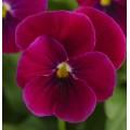 Виола Сорбет F1 карминно-розовая /100 семян/ *Pan American*