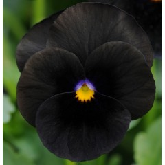 Виола Сорбет F1 черная /100 семян/ *Pan American*