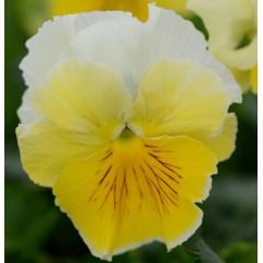 Виола Фризли Сизли F1 лимонно-белая /100 семян/ *Pan American*
