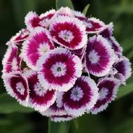 Гвоздика Свит F1 пурпурная биколор /100 семян/ *Pan American*